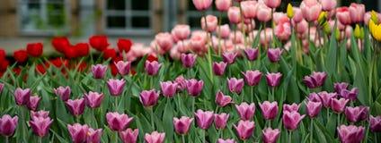 Красный, пинк, желтые тюльпаны на солнечный весенний день, зацветая в парке под окном стоковое фото rf