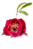 Красный пион Стоковые Фото