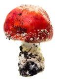 Красный пластинчатый гриб мухы гриба на белой предпосылке Стоковое Фото