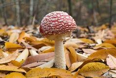 Красный пластинчатый гриб мухы среди желтых листьев осени Стоковое фото RF