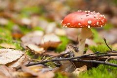 Красный пластинчатый гриб мухы Стоковое Изображение