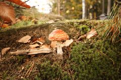 Красный пластинчатый гриб мухы Toadstool, muscaria мухомора, конец вверх pois Стоковое Изображение