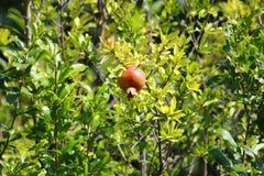 Красный плодоовощ гранатового дерева висит на дереве гранатового дерева Стоковая Фотография RF