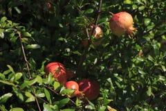 Красный плодоовощ гранатового дерева висит на дереве гранатового дерева Стоковые Изображения RF