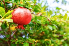 Красный плодоовощ гранатового дерева на дереве гранатового дерева Стоковая Фотография RF
