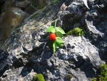 Красный плодоовощ с зелеными листьями Стоковые Фото