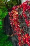 Красный плющ на загородке решетки Фото осени стоковые изображения rf