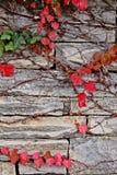 Красный плющ на каменной стене стоковое фото rf