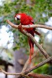 Красный попугай ары на ветви Стоковое фото RF
