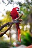 Красный попугай ары на ветви Стоковое Изображение RF