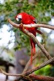 Красный попугай ары на ветви Стоковая Фотография RF