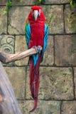 Красный попугай ары с длинным хвостом Стоковые Фото