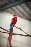 Красный попугай ары Стоковое Фото