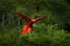 Красный попугай в летании попугая ары леса в темной ой-зелен вегетации Ара шарлаха, Ara Макао, в тропическом лесе, Коста-Рика оди Стоковая Фотография