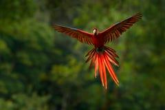 Красный попугай в летании попугая ары леса в темной ой-зелен вегетации Ара шарлаха, Ara Макао, в тропическом лесе, Коста-Рика оди Стоковые Изображения RF