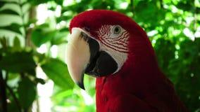 Красный попугай против зеленой предпосылки сток-видео