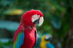 Красный попугай Стоковые Фото