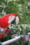 Красный попугай стоковые изображения