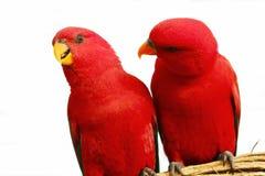Красный попыгай Стоковое фото RF
