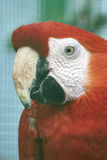 Красный попыгай Стоковые Фото