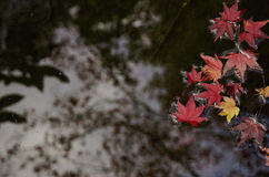 Красный поплавок кленовых листов в чистой воде Стоковое Изображение