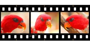 Красный портрет попугая Стоковые Фотографии RF