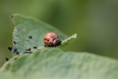 Красный подавать личинки жука Колорадо Стоковое Изображение