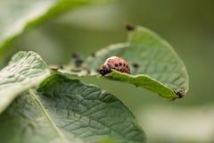 Красный подавать личинки жука Колорадо Стоковые Фотографии RF