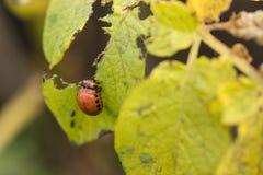 Красный подавать личинки жука Колорадо Стоковые Изображения