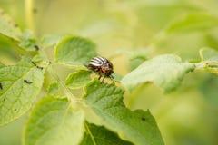 Красный подавать личинки жука Колорадо Стоковые Фото