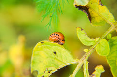 Красный подавать личинки жука Колорадо Стоковая Фотография RF