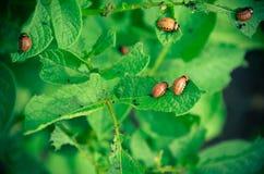Красный подавать личинки ` s жука Колорадо Стоковые Фото