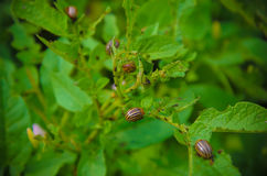 Красный подавать личинки ` s жука Колорадо Стоковое Изображение RF