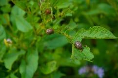 Красный подавать личинки ` s жука Колорадо Стоковое фото RF