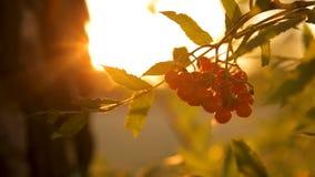 Красный пук рябины на заходе солнца против backlight неба акции видеоматериалы