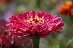 Красный пук цветка на зеленом цвете Стоковое Изображение RF