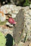 Красный плодоовощ кактуса шиповатой груши Стоковая Фотография