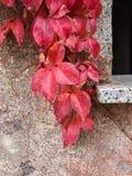 Красный плющ на старой стене Стоковые Фотографии RF