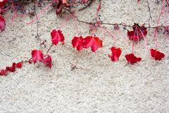 Красный плющ осени на гипсолите стены Стоковые Фото