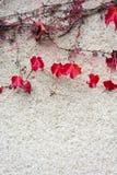 Красный плющ осени на гипсолите стены Стоковые Изображения RF