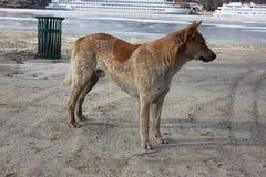 Красный пляж зимы собаки стоковые изображения rf