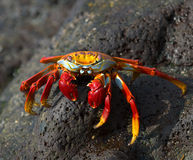 Красный рак на утесе, острова galapagos Стоковое Изображение
