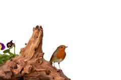 Красный робин на driftwood изолированном на белизне Стоковые Фотографии RF