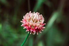 Красный розовый клевер на зеленой запачканной предпосылке травы на солнечный летний день r Зацветая клевер Завод корма стоковая фотография rf