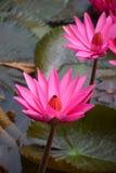 Красный розовый лотос воды лилии в Таиланде Стоковое Изображение RF