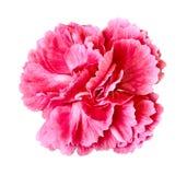 Красный розовый цветок гвоздики изолированный на белой предпосылке Конец-вверх элемент конструкции рождества колокола Стоковые Фотографии RF