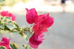 Красный розовый цветок Стоковые Изображения
