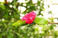 Красный розовый цветок camelia в саде Стоковые Изображения