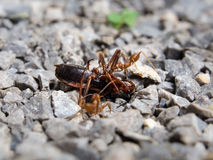 Красный рой насекомого муравья боя свирепо Стоковые Фотографии RF
