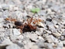 Красный рой насекомого муравья боя свирепо Стоковая Фотография